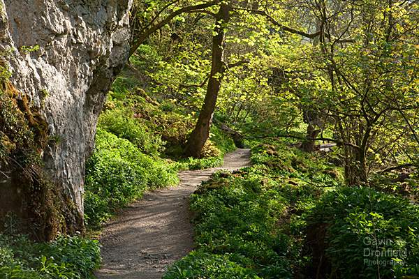 Path to Janets Foss through green beech woodland in spring