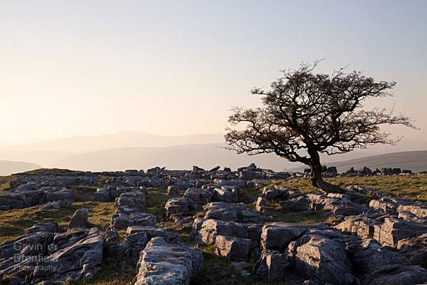 hawthorne tree at winskill stones limestone pavement at sunset