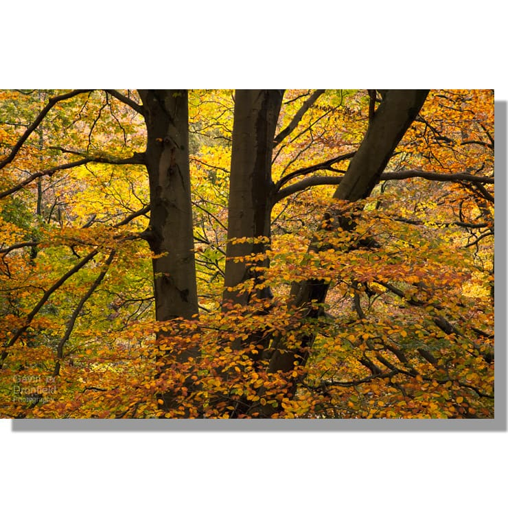 colourful autumnal Penny Rock Wood beech