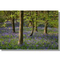 Middleton Woods bluebells in flower among beech trees