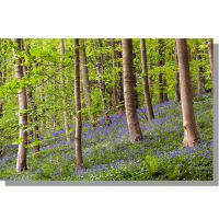 coppiced beech wood and bluebells at Robin Hoods Howl