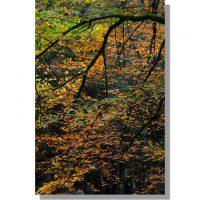 golden Eskdale beech tree in autumn