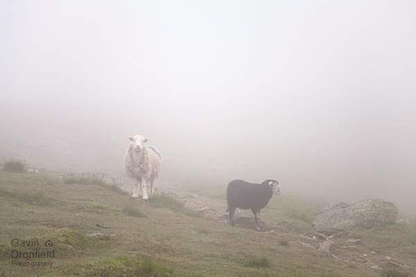 two herdswick sheep on pasture land at a misty esk hause
