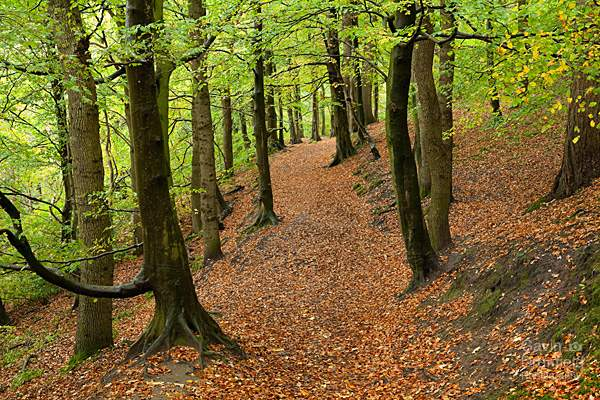 red beech leaves on footpath leading through autumnal trees in gelt woods
