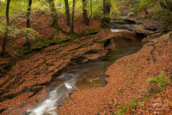 river gelt in gelt woods in mid autumn with red beech leaves on the banks