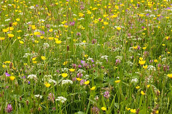 Hawksweed buttercups red clover in Muker wildflower meadow