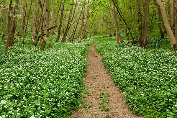 straight footpath through ramsons in flower in Robin Hoods Howl
