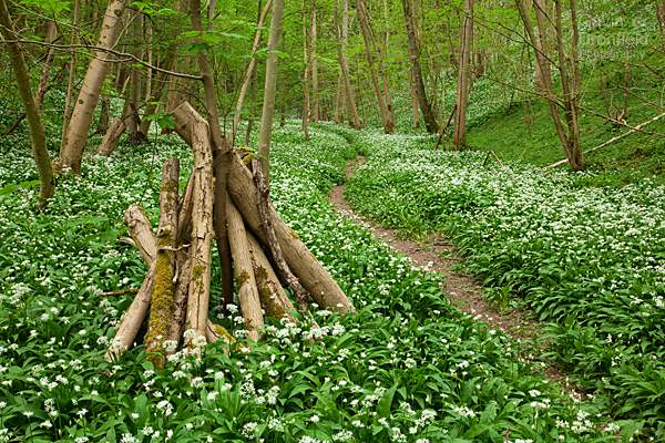 footpath through wild garlic in Robin Hoods Howl