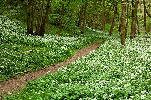 white ramson flowers in robin hoods howl woodland in spring