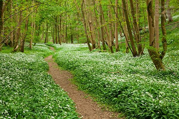 track in robin hoods howl surrounded by beech trees and flowering wild garlic