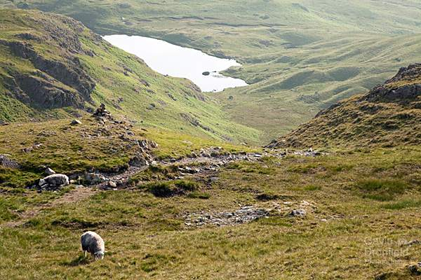 looking down to codale tarn and grazing sheep from easedale footpath
