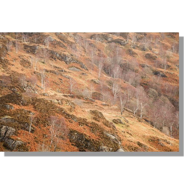 Yewdale silver birches winter woodland