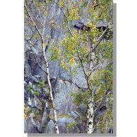autumnal birch tree at Hodge Close slate quarry
