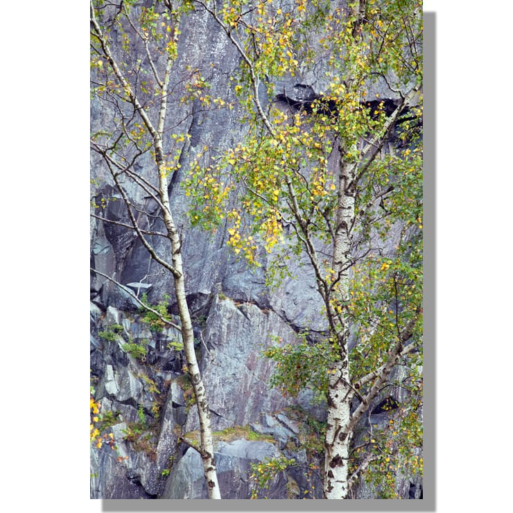 Hodge Close slate quarry birch trees in autumn
