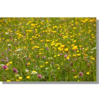 Muker wildflower meadows buttercups, red clover, yellow rattle, hawksweed