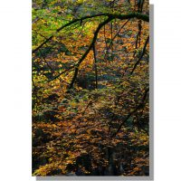 golden Eskdale beech tree in autumn