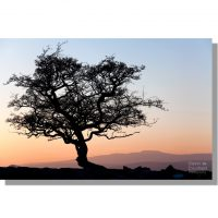 winskill aged hawthorn tree silhouetted against colourful sky during red sunset over Ingleborough