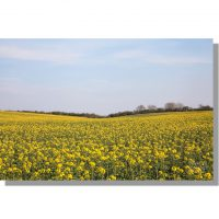 Thorn Dale field of rapeseed crop in flower under blue skies