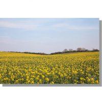 Thorn Dale field of rapeseed crop in flower under blue skies