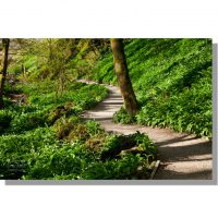Janets Foss woods path through flowering wild garlic