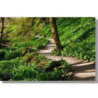 Janets Foss woods path through flowering wild garlic