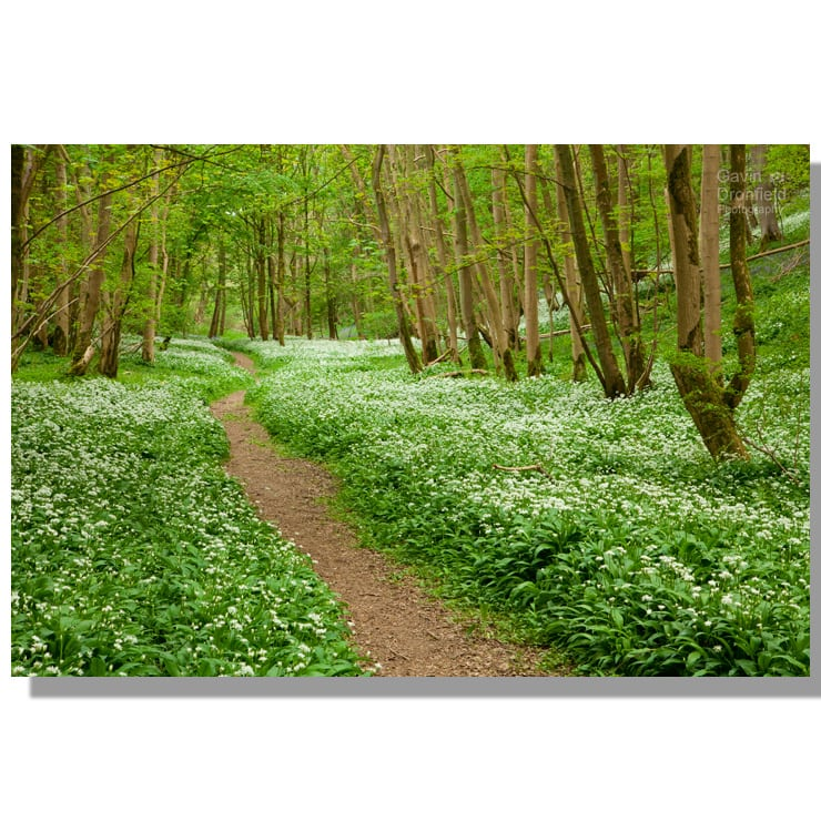 Robin Hoods Howl path through flowering ramsons in verdant beech woodland in spring