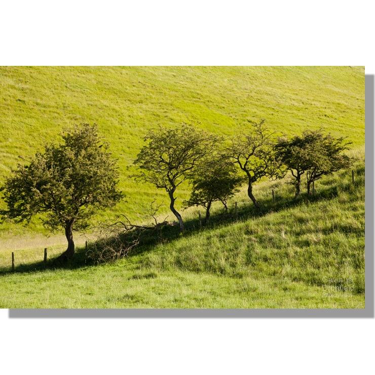 line of hawthorn trees in verdant bradeham dale