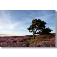 Scots pine amidst summer purple heather on Coniser Howl moor