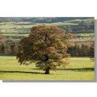 majestic oak tree in autumn in wensley park