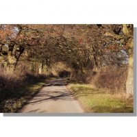 birdsall wold minor road under avenue of autumn oak trees
