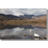 two mute swans on a calm elter water lake under cloudy skies with langdale pikes as backdrop