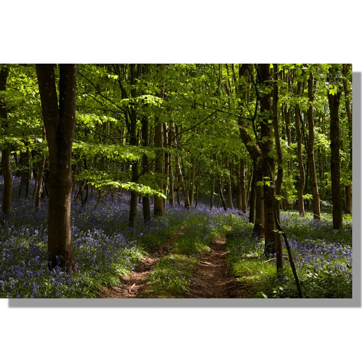 track through bluebells in flakebridge wood beech woodland in spring