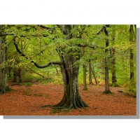 ancient beech under a yellow and green autumnal canopy in gelt woods
