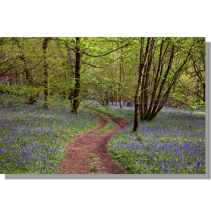 flakebridge wood footpath through thick carpet of flowering bluebells in spring