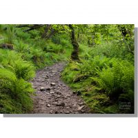 pennine way track running through rich verdant woodland ferns in summer near keld