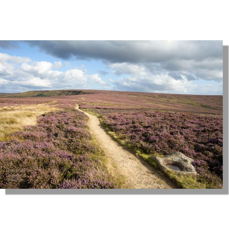 lyke wake walk and cleveland way track crossing urra moor towards round hill surrounded by purple heather with cup marked rock